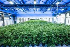 LED grow lights and cannabis planting